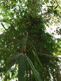 BAMBUSY SĄ KIEDYKOLWIEK ZIELONYM PERENIAL KWIATONOŚNYM rośliną obrazy royalty free