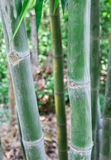 Bambuträ i tropisk skog mot oskarpa bakgrunder Royaltyfria Bilder