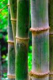 Bambuträd Arkivfoto