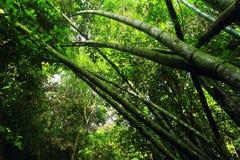 Bambuträd Arkivbilder