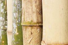 Bambuträd Fotografering för Bildbyråer