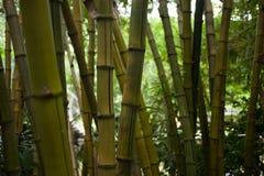 Bambuträd Arkivfoton
