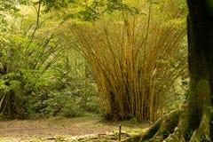 Bambuträd Arkivbild