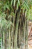 Bambuträd Royaltyfri Fotografi