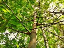 Bambuträd royaltyfria bilder