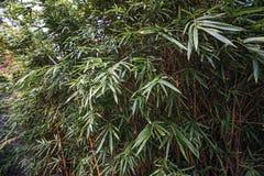Bambuträd i parkera Arkivbild