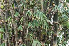 Bambuträd Royaltyfri Bild