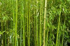 bambutrees Royaltyfri Foto