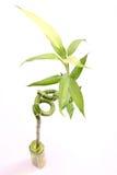bambuväxt Royaltyfri Foto