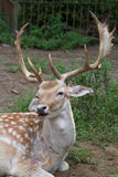Bamby鹿 库存图片