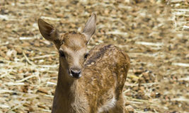 bamby red deer alone Royalty Free Stock Photo