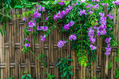 Bammboo fence. Bamboo fence with Garlic Vine flowers of rural house in Thailand Stock Photo