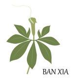Ban xia herb Stock Image