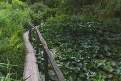 Bana ?ver pundet som t?ckas med n?ckrosblock, i botaniska tr?dg?rden av Lucca, Tuscany, Italien royaltyfri bild