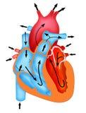 Bana av blodflöde till och med hjärtan stock illustrationer