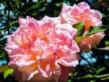 Bana av rosor Royaltyfri Bild