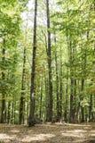 Bana i en gammal grön skog av kastanjebruna träd Royaltyfria Foton
