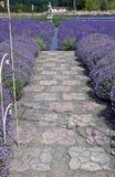 Bana längs lavendelfält Royaltyfria Bilder