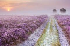 Bana till och med blommande ljung på soluppgång, Nederländerna royaltyfri foto