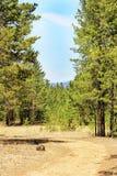 Bana till och med en pinjeskog Arkivfoton