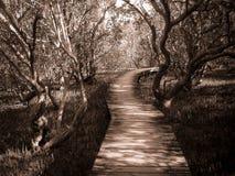 Bana till och med mangrove Arkivfoto