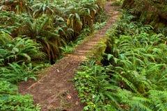 Bana till och med redwoodträdskog bland ormbunkar Royaltyfri Foto