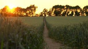 Bana till och med vete- eller kornfältet som blåser i vinden på solnedgången eller soluppgång stock video