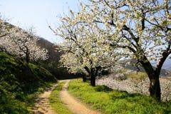 Bana under körsbärsröda blomningtrees Arkivfoton