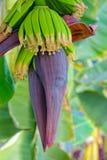 banaan mooie close-up royalty-vrije stock fotografie