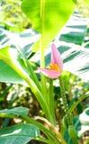 banaan mooie close-up Royalty-vrije Stock Afbeeldingen