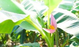 banaan mooie close-up Royalty-vrije Stock Afbeelding