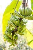 Banaan op boom Royalty-vrije Stock Fotografie