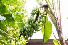 Banaan op boom Stock Afbeeldingen