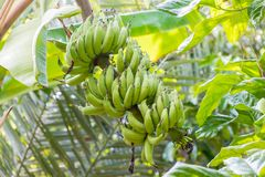 Banaan op boom Royalty-vrije Stock Foto