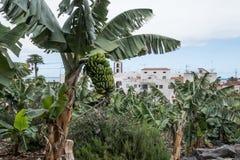 Banaan Palme op het Eiland Tenerife Royalty-vrije Stock Foto