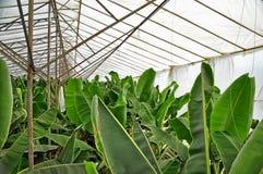 Banaanaanplanting stock afbeeldingen
