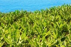 Banaanaanplanting dichtbij de oceaan in La Palma Stock Afbeelding