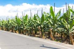 Banaanaanplanting door de weg Stock Afbeelding