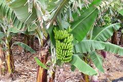 Banaanaanplanting in tropische plaats stock afbeelding