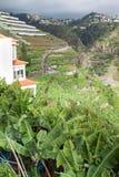 Banaanaanplantingen in camara DE lobos Madera eiland, Portugal Stock Afbeeldingen