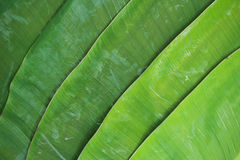banaanblad Stock Afbeelding
