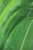banaanblad Royalty-vrije Stock Afbeelding