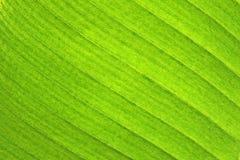 banaanblad Royalty-vrije Stock Afbeeldingen