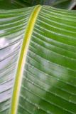 banaanblad Royalty-vrije Stock Fotografie