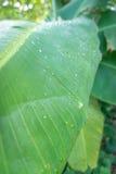 banaanblad Stock Foto