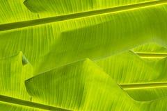 Banaanblad, de bladeren Stock Afbeelding