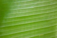 banaanblad, natuurlijke achtergrond Stock Afbeelding