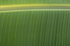 Banaanbladeren Royalty-vrije Stock Foto's