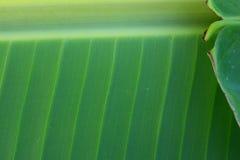 Banaanbladeren Royalty-vrije Stock Afbeeldingen