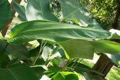 Banaanbladeren Stock Afbeeldingen